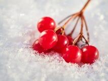 Las bayas rojas de una guelder-rosa con la primera nieve Fotografía de archivo libre de regalías