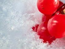 Las bayas rojas de una guelder-rosa con la primera nieve Imagen de archivo libre de regalías