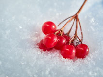 Las bayas rojas de una guelder-rosa con la primera nieve Foto de archivo libre de regalías