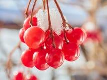 Las bayas rojas de una guelder-rosa con la primera nieve Imagenes de archivo
