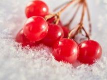 Las bayas rojas de una guelder-rosa con la primera nieve Fotografía de archivo