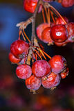 Las bayas rojas del invierno, oscurecieron y apergaminado del frío, pero todavía siguen siendo muy hermosos Fotos de archivo libres de regalías