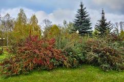 Las bayas rojas en los arbustos del bérbero en parque del otoño ajardinan Foto de archivo libre de regalías