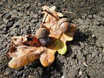 Las bellotas con la hoja colorida en el camino Foto de archivo
