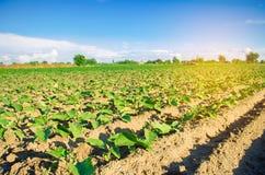 Las berenjenas jovenes crecen en el campo filas vegetales Agricultura farmlands Paisaje con la región agrícola imagen de archivo