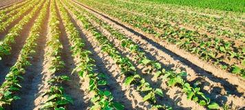 Las berenjenas jovenes crecen en el campo filas vegetales Agricultura farmlands Paisaje con la regi?n agr?cola bandera selectivo fotos de archivo