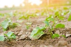 Las berenjenas jovenes crecen en el campo filas vegetales Agricultura, verduras, productos agrícolas orgánicos, agroindustria Tie imagen de archivo