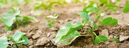 Las berenjenas jovenes crecen en el campo filas vegetales Agricultura, verduras, productos agr?colas org?nicos, agroindustria imagen de archivo
