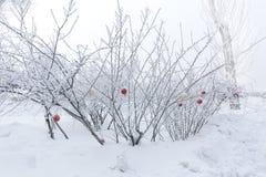 Las bolas rojas de la Navidad en abeto escarchado forran ramas Paisaje del invierno Fotografía de archivo