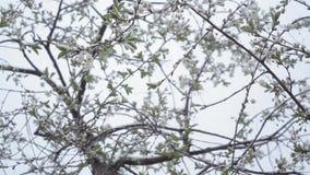 Las caídas/nieve de la nieve de la cereza de la floración bajan en la primavera y las flores de cerezo almacen de video
