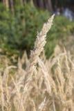 Las cañas en el otoño en el sol Foto de archivo