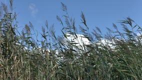 Las cañas se extienden de un fuerte viento en fondo del cielo azul almacen de metraje de vídeo