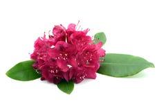 Las cabezas de flor rojas del rododendro en blanco aislaron el fondo Fotografía de archivo libre de regalías