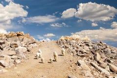 Las cabras de montaña de la roca de Colorado caminan en un camino de tierra Imágenes de archivo libres de regalías