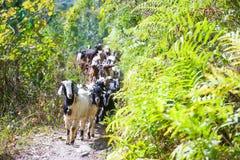 Las cabras de montaña están caminando a la montaña Imagen de archivo