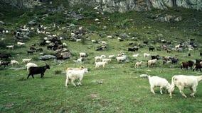 Las cabras de montañas comen la hierba en pasto approaching almacen de metraje de vídeo
