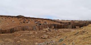 Las cabras en un queso cultivan en Fuerteventura en España Fotografía de archivo
