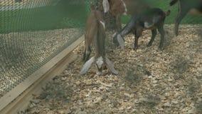 Las cabras en una granja comen la comida del hallazgo Cabras que comen en el prado Las cabras comen la hierba en el pasto, pastan metrajes