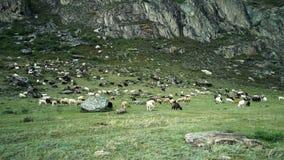 Las cabras pastan en un prado en las montañas approaching almacen de video