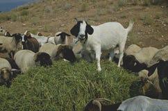Las cabras pilling para arriba y que comen el heno imágenes de archivo libres de regalías