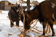 Las cabras roen el árbol de navidad Fotos de archivo