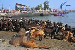 Las cabras tradicionales del baño banquetean en Puerto de la Cruz Fotos de archivo