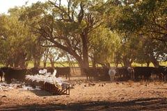 Las cacatúas, los patos y los galahs recolectan para alimentar en el heno del ganado en la madrugada fotos de archivo libres de regalías