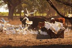 Las cacatúas vuelan adentro a la alimentación en el ganado hacen heno en la madrugada imágenes de archivo libres de regalías