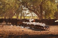 Las cacatúas y el ganado recolectan en la madrugada para comer una alimentación del heno fotos de archivo