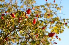 Las caderas salvajes en una rama de un arbusto Foto de archivo libre de regalías