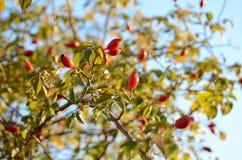 Las caderas salvajes maduras hermosas de la montaña en una rama de un arbusto Imagen de archivo libre de regalías