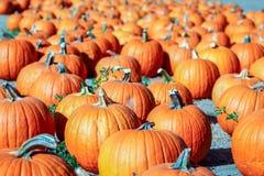Las calabazas anaranjadas coloridas en una calabaza remiendan listo para Halloween Imagen de archivo