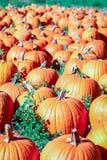 Las calabazas anaranjadas coloridas en una calabaza remiendan listo para Halloween Foto de archivo