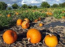 Las calabazas anaranjadas que crecen en el campo Imagen de archivo