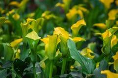 Las calas amarillas hermosas están floreciendo en el jardín Imágenes de archivo libres de regalías