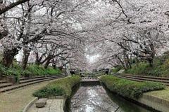 Las calzadas románticas debajo de la arcada del cerezo rosado florecen Sakura Namiki a lo largo de una pequeña orilla del río imagen de archivo libre de regalías
