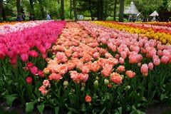 Las camas de flor de tulipanes en el Keukenhof real parquean Fotos de archivo libres de regalías