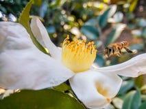 Las camelias salvajes atraen las pequeñas abejas diligentes Foto de archivo