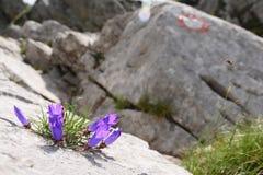 Las campanas púrpuras suben de la piedra, rodeada por la roca fotografía de archivo libre de regalías
