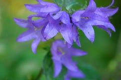 Las campanas violetas se pintan en el sol fotos de archivo