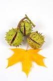 Las castañas y las hojas, caída están viniendo Imágenes de archivo libres de regalías