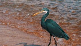 Las cazas de la garza del filón para los pescados en la playa del Mar Rojo en Egipto almacen de video
