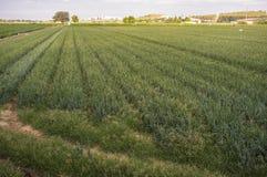 Las cebollas colocan para la industria alimentaria deshidratada en la puesta del sol Imagenes de archivo