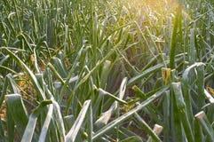 Las cebollas colocan para la industria alimentaria deshidratada en la puesta del sol Foto de archivo