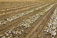 Las cebollas ensambladas Fotografía de archivo libre de regalías