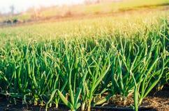 Las cebollas jovenes frescas crecen en el campo en filas, agricultura, buena cosecha, semillas de la cebolla, cultivando imagenes de archivo