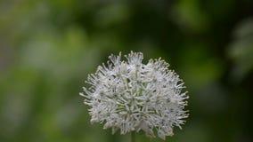 Las cebollas ornamentales de los flores blancos hermosos, están en la floración a principios de verano almacen de metraje de vídeo