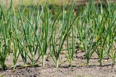 Las cebollas verdes crecen Fotografía de archivo