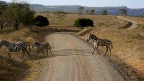 Las cebras cruzan la carretera con curvas polvorienta en llano africano pintoresco con el acacia de la belleza almacen de video