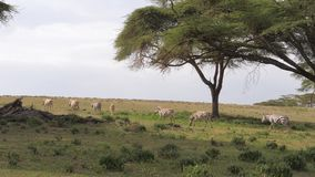 Las cebras de la manada se mueven en The Field con la hierba verde en el acacia 4K metrajes